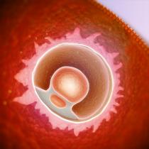 Le développement de l'embryon et du foetus: 1er trimestre